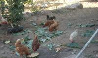 Gallinas 